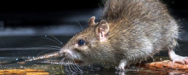 Rats musqués