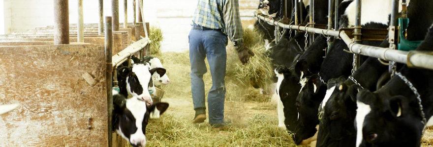 alimenter du bétail